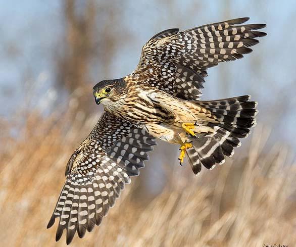 Семейство соколиные, дербник, Falco columbarius L.