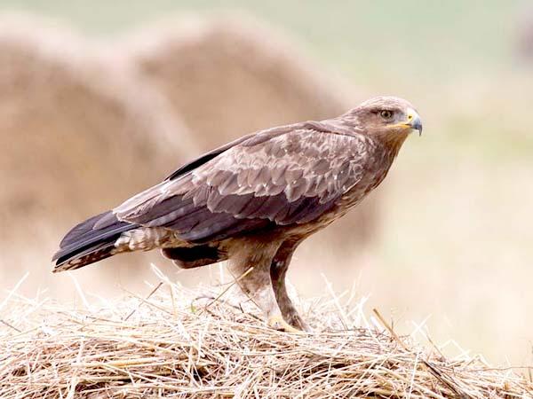 Подорлик малый, Aquila pomarina (C.L.) Brehm